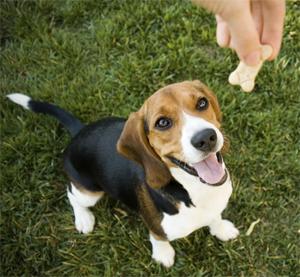 The lovable Beagle has ousted the tiny Yorkie to become the third most popular breed in the United States for 2011.