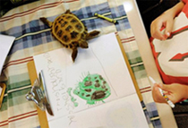 A tortoise walks onto the coloring project of a tortoise by Gavin Thoen in the first grade classroom of Dawn Slinger in Farmington, Minn.