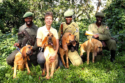 Rangers in the Democratic Republic of Congo are using Bloodhounds to track down elephant poachers.