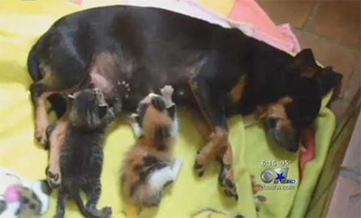 The little mom and her kittens. (Photo CBS Channel 11 News Dallas)