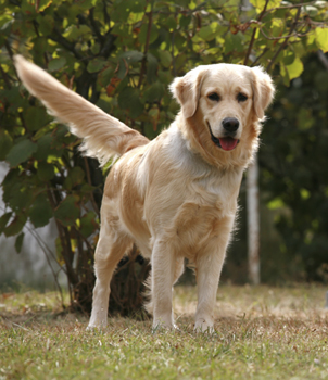 The gentle and loving Golden Retriever regains its place as the 3rd most popular dog.
