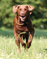 Still the reigning champ, the Labrador Retriever remains the most popular dog for the past 22 years.