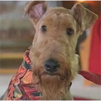 Airedale Returns Home After Three Weeks