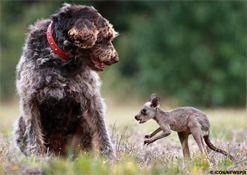 Dog Saves Baby Kangaroo