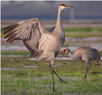Sandhill cranes have a wingspan of 5 to 6 feet