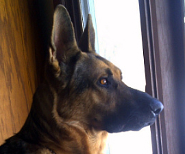 German Shepherd Saves Family From Intruder