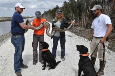 Jake and Ivy are trained to detect pythons in the Everglades.
