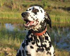 Deaf Dalmatian Saves Drowning Girl