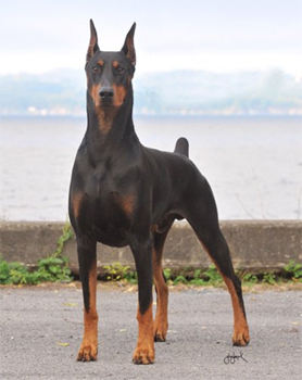Doberman Detects Breast Cancer