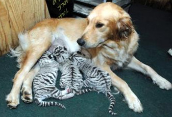 Golden Adopts Baby Tigers