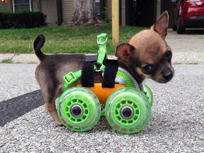 TurboRoo in his 3-D printed doggie cart. (Ashley Looper)