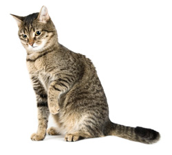 American Shorthair Care A Lot Pet Supply