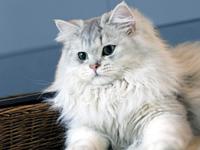 British White Cat