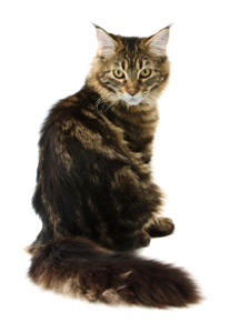 Mainecoon on Pattern Health Care