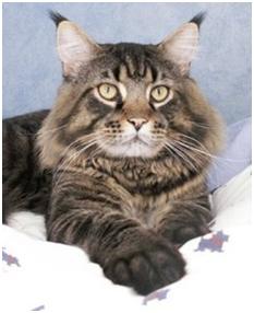 pixiebob longhair carealot pet supply