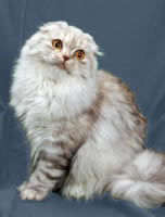 Scottish Fold Longhair Care A Lot Pet Supply
