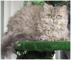 Selkirk Rex Longhair Care A Lot Pet Supply