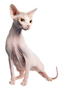 Sphynx - Care-A-Lot Pet Supply