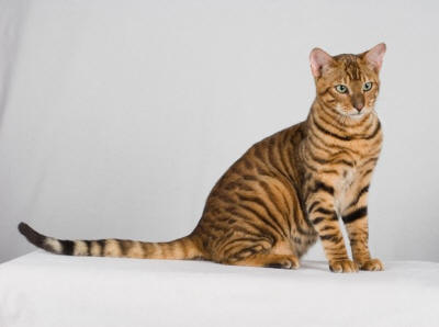 Toyger Cat Breed Care A Lot Pet Supply
