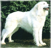 Great Big White Dogs