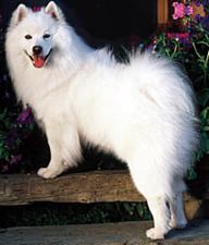 American Eskimo Dog Care A Lot Pet Supply