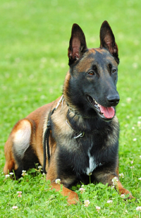 Belgian Malinois Care A Lot Pet Supply