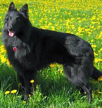 Belgian Sheepdog Care A Lot Pet Supply