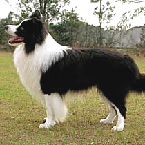 Border Collie Show Dog