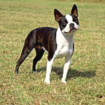 Boston Terrier Care A Lot Pet Supply