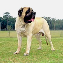 Bullmastiff Care A Lot Pet Supply