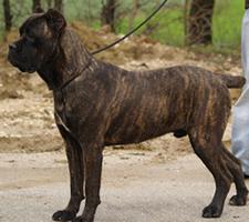 Cane Corso Care A Lot Pet Supply