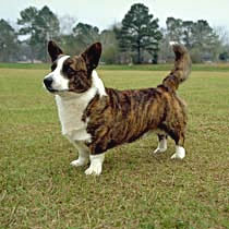 e4c5b0b31abc Cardigan Welsh Corgi is a small sized, well-built dog that sits low to the  ground. The medium to short double coat is straight, waterproof and has a  smooth, ...