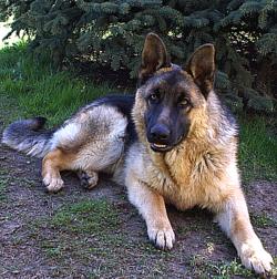 German Shepherd Care A Lot Pet Supply
