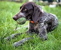 German Shorthaired Pointer Usa German Shorthaired Pointer