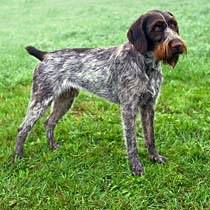 German Wirehaired Pointer Care A Lot Pet Supply