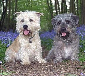 Glen of imaal terrier care a lot pet supply the glen of imaal terrier is low stationed with slightly bowed front legs to give a mechanical advantage while digging the harsh coat is weather resistant altavistaventures