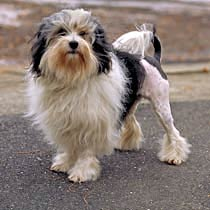 dog pictures with terriers curly tails dog breeds picture