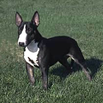 Miniature Bull Terrier Care A Lot Pet Supply