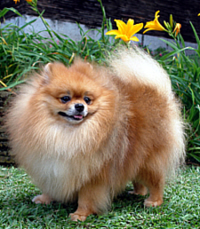 Pomeranian Care A Lot Pet Supply
