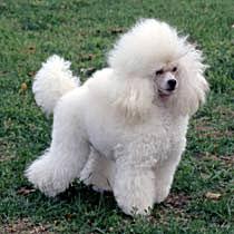 Poodle Care A Lot Pet Supply
