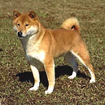 Shiba Inu Care A Lot Pet Supply