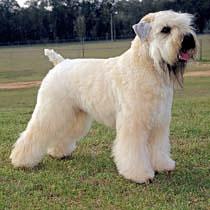 soft coated wheaten terrier haircut photos diesel soft soft coated wheaten terrier care a lot pet supply