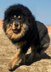 Chinchilla For Sale >> Tibetan Mastiff - Care-A-Lot Pet Supply