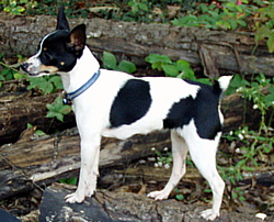 toy fox terrier carealot pet supply